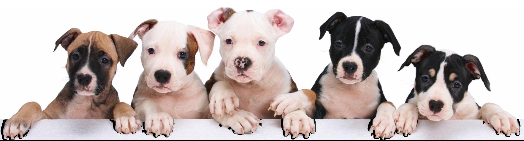 Petland Joplin Cute Puppies For Sale